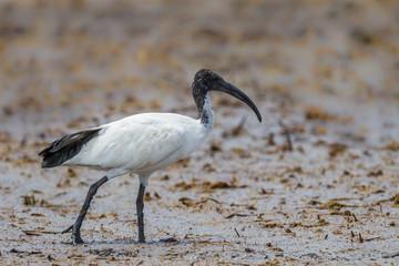 Close up of African sacred ibis (Threskiornis aethiopicus)