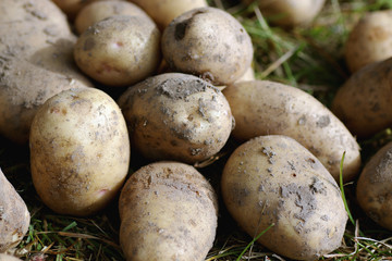 potato tubers in the ground