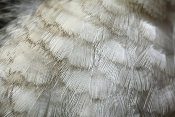 Laughing kookaburra (Dacelo novaeguineae) plumage texture. Wall mural