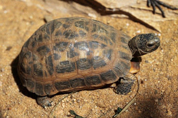 Common spider tortoise (Pyxis arachnoides arachnoides).