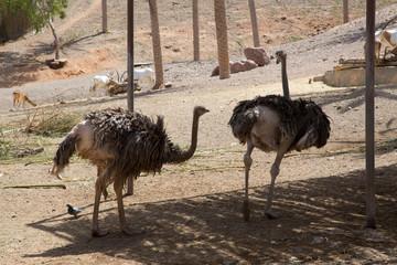 Vogelstrauß im Park