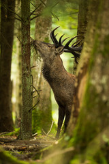 Photo sur Toile Cerf brame cerf pin manger forêt nourriture chasse observation natur
