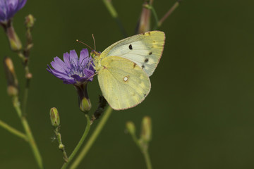 close up of brimstone butterfly on wild flower