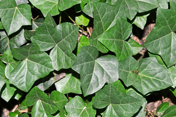 Green ivy leaves as groundcover