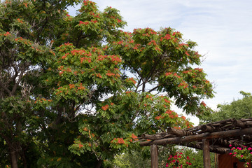 Large and tall orange-flowering tree in Santa Fe, New Mexico