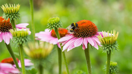 A bumblebee on pink coneflower