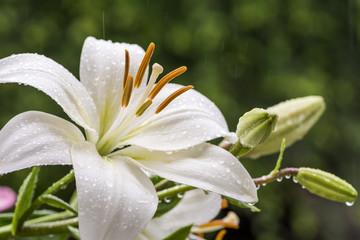 雨の中の白いスカシユリの花