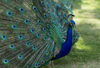 Male peacock, Pavo cristatus, living wild in Southern California