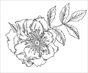 Vintage floral highly detailed hand drawn rose flower stem with roses and leaves.  tattoo design element.