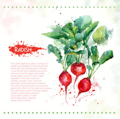 Radish. Raw vegetable. Watercolor illustration for design. Spray paint.