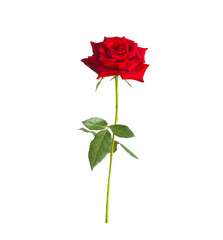 long stem red rose