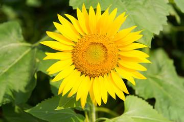 Close Up Sunflower