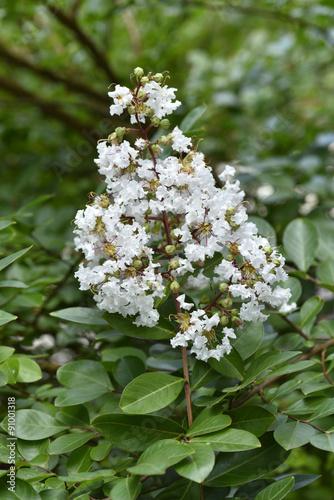 Lagerstroemia x lilas des indes 39 petit canaille blanc - Lilas des indes blanc ...