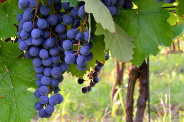 Purple red grapes with green leaves