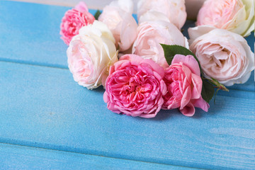 Pink  roses  on blue wooden background.