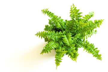 Young green fern with curly leaves. Nephrolepis in pot and foliage on white background (closeup)