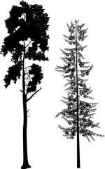 two long black pine trees on white