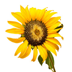 Ripe sunflower with seeds