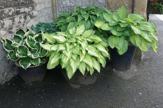 Pots of healthy hosta plants.