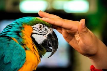 Playing with parrot macaws ( Ara ararauna)