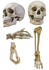 set of human skeleton partsl isolated on white