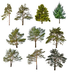 set of ten coniferous trees isolated on white