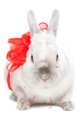 White rabbit with ribbon