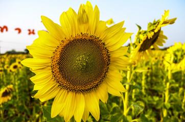 The Big Sunflower