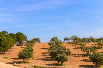olive fields on a background of blue sky