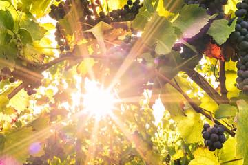Herbstsonne im Weinberg
