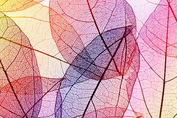 Spoed Fotobehang Decoratief nervenblad Multicolor decorative skeleton leaves