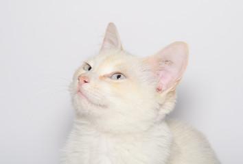 Splendido gattino con gli occhi azzurri