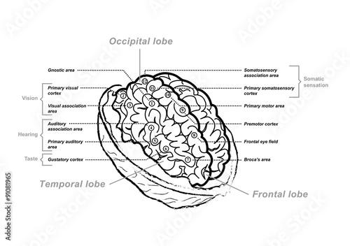 anatomie et fonctions du cerveau noix\
