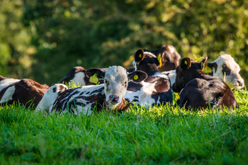 Cattle lying in the grass