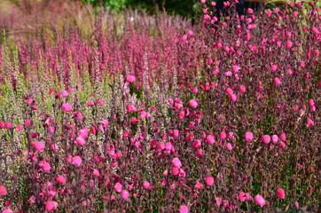 Rosa Glockenheide blüht im Heidegarten
