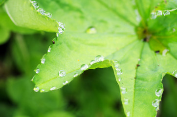 Droplets of dew on fresh green leaves
