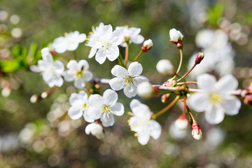 Natural spring background with cherry flowers.