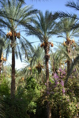 Dates palms