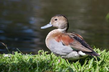Duck in nature. Bali Bird Park, Indonesia