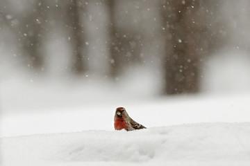 Redpoll in snowy forest