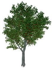 Sweet or wild cherry tree - 3D render