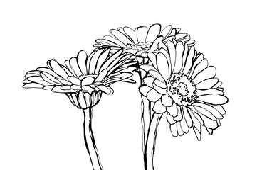 Kwiaty Gerbery, rysunek