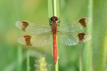 Sympetrum pedemontanum, maschio