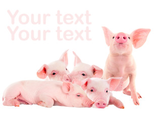 Pile of fun, pink pigs. Isolated on white background. A series of photos.