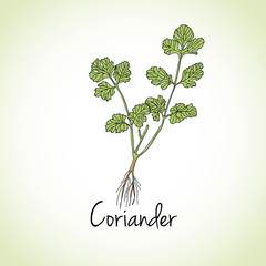 Coriander Herbs and Spices.