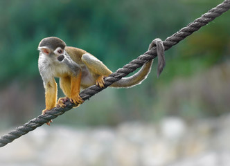 Squirrel monkey sitting on a rope
