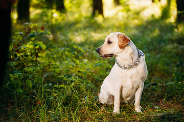 Funny White Labrador Retriever Dog Sitting In Green Grass, Fores