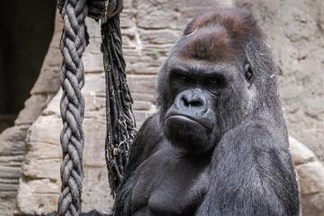 primer plano de un gorila adulto espalda plateada