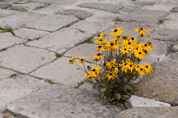 Blooming yellow flowers on  stone pavement.