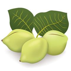 Food illustration, Kakadu plum fruit exotica Australia